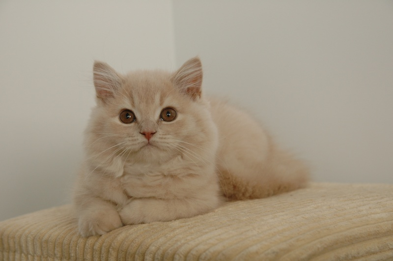 Koty Brytyjskie Hodowla Nilfgaardpl Kot Brytyjski Krótkowłosy