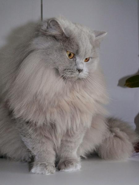 Koty Brytyjskie Długowłose W Polsce Jest Niewiele Regularnych